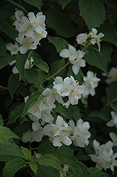 Sweet Mockorange (Philadelphus coronarius) at All Seasons Nursery