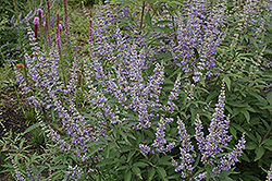 Chaste Tree (Vitex agnus-castus) at All Seasons Nursery