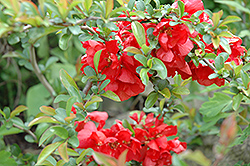 Texas Scarlet Flowering Quince (Chaenomeles speciosa 'Texas Scarlet') at All Seasons Nursery