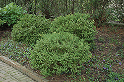 Wintergreen Boxwood (Buxus microphylla 'Wintergreen') at All Seasons Nursery