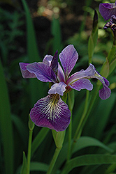 Blue Flag Iris (Iris versicolor) at All Seasons Nursery