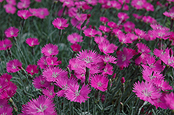Firewitch Pinks (Dianthus gratianopolitanus 'Firewitch') at All Seasons Nursery