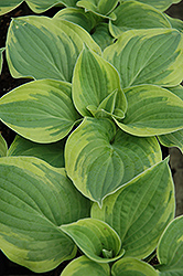 Wide Brim Hosta (Hosta 'Wide Brim') at All Seasons Nursery