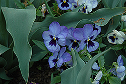 Matrix® Blue Frost Pansy (Viola 'PAS284632') at All Seasons Nursery