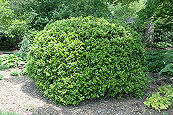 Japanese Boxwood (Buxus microphylla 'var. japonica') at All Seasons Nursery