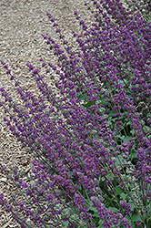 Purple Rain Salvia (Salvia verticillata 'Purple Rain') at All Seasons Nursery