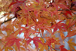 Butterfly Variegated Japanese Maple (Acer palmatum 'Butterfly') at All Seasons Nursery