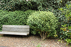 Spiral Boxwood (Buxus sempervirens) at All Seasons Nursery