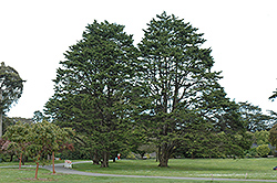 Monterey Cypress (Cupressus macrocarpa) at All Seasons Nursery
