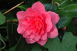 Mike Whitman Camellia (Camellia 'Mike Whitman') at All Seasons Nursery