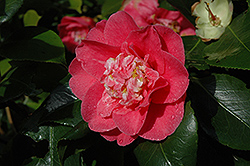 R.L. Wheeler Camellia (Camellia japonica 'R.L. Wheeler') at All Seasons Nursery