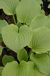Aphrodite Hosta (Hosta 'Aphrodite') at All Seasons Nursery