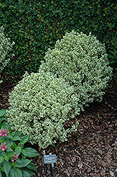 Variegated Boxwood (Buxus sempervirens 'Variegata') at All Seasons Nursery