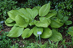 Sum and Substance Hosta (Hosta 'Sum and Substance') at All Seasons Nursery