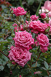 Winsome Rose (Rosa 'Winsome') at All Seasons Nursery