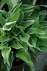 Allan P. McConnell Hosta (Hosta 'Allan P. McConnell') at All Seasons Nursery