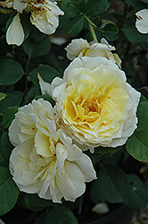 White Licorice Rose (Rosa 'White Licorice') at All Seasons Nursery