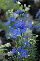 Blue Mirror Delphinium (Delphinium grandiflorum 'Blue Mirror') at All Seasons Nursery