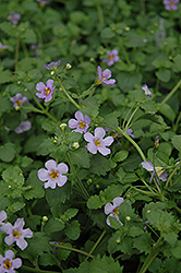 Blutopia Blue Bacopa (Sutera cordata 'Blutopia Blue') at All Seasons Nursery