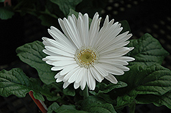 White Gerbera Daisy (Gerbera 'White') at All Seasons Nursery