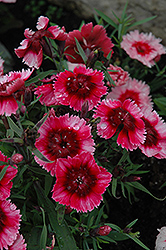 Super Parfait™ Raspberry Dianthus (Dianthus 'Super Parfait Raspberry') at All Seasons Nursery