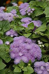Hawaii Blue Flossflower (Ageratum 'Hawaii Blue') at All Seasons Nursery