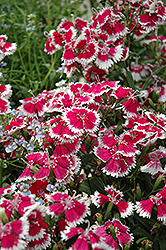 Floral Lace Mix Pinks (Dianthus 'Floral Lace Mix') at All Seasons Nursery