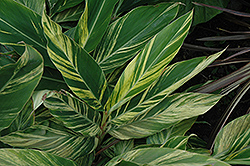 Variegated Shell Ginger (Alpinia zerumbet 'Variegata') at All Seasons Nursery