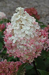 Vanilla Strawberry™ Hydrangea (Hydrangea paniculata 'Renhy') at All Seasons Nursery
