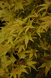 Ryusen Japanese Maple (Acer palmatum 'Ryusen') at All Seasons Nursery
