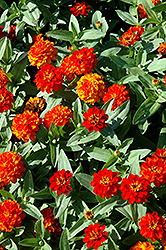Profusion Double Fire Zinnia (Zinnia 'Profusion Double Fire') at All Seasons Nursery