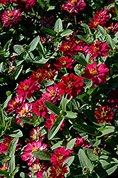 Profusion Double Cherry Zinnia (Zinnia 'Profusion Double Cherry') at All Seasons Nursery