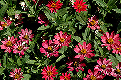 Profusion Coral Pink Zinnia (Zinnia 'Profusion Coral Pink') at All Seasons Nursery