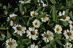Profusion White Zinnia (Zinnia 'Profusion White') at All Seasons Nursery