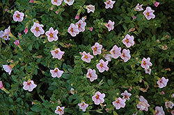 Superbells® Cherry Blossom Calibrachoa (Calibrachoa 'Superbells Cherry Blossom') at All Seasons Nursery