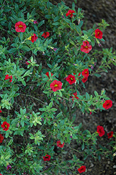 Superbells® Scarlet Calibrachoa (Calibrachoa 'Superbells Scarlet') at All Seasons Nursery