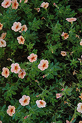 Superbells® Peach Calibrachoa (Calibrachoa 'Superbells Peach') at All Seasons Nursery