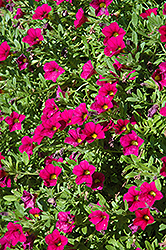 MiniFamous® Compact Purple Calibrachoa (Calibrachoa 'MiniFamous Compact Purple') at All Seasons Nursery