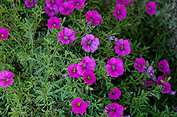 Superbells® Trailing Rose Calibrachoa (Calibrachoa 'Superbells Trailing Rose') at All Seasons Nursery