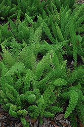 Myers Foxtail Fern (Asparagus densiflorus 'Myers') at All Seasons Nursery
