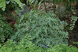 Rabbit's Foot Fern (Davallia fejeensis) at All Seasons Nursery