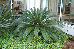 Japanese Sago Palm (Cycas revoluta) at All Seasons Nursery