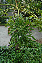 Tree Philodendron (Philodendron bipinnatifidum) at All Seasons Nursery