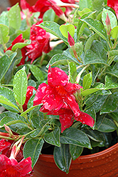 Sun Parasol® Crimson Mandevilla (Mandevilla 'Sun Parasol Crimson') at All Seasons Nursery