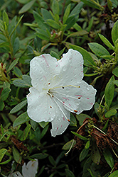 Encore® Autumn Starlite™ Azalea (Rhododendron 'Roblem') at All Seasons Nursery