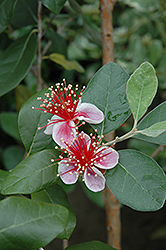 Pineapple Guava (Acca sellowiana) at All Seasons Nursery