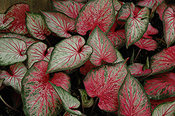 Carolyn Whorton Caladium (Caladium 'Carolyn Whorton') at All Seasons Nursery