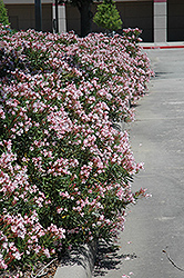 Petite Pink Oleander (Nerium oleander 'Petite Pink') at All Seasons Nursery