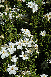 Daisy Gardenia (Gardenia augusta 'Daisy') at All Seasons Nursery