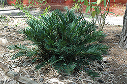 Coontie (Zamia pumila) at All Seasons Nursery
